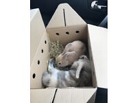 2 male rabbits both 6 months