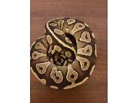 Royal python (mojave)
