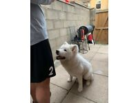 White 6 month old american akita
