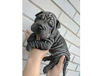 Shar Pei pups looking for their forever homes 🏡