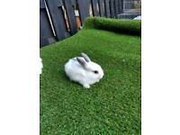 Only one adorable Netherlands dwarf baby rabbit left