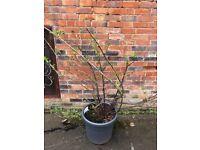 Garden tree/ large plants