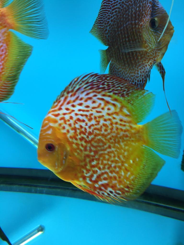 Discus Fish Golden Leopard Snakeskin GLSS
