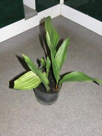 Aspidestra Cast Iron Plant House Plant Lasting Present Only £10 Weymouth Free Local Delivery