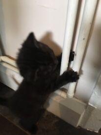 British Shorthair Tuxedo Kitten's