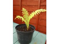 HEALTHY FERN IN POT, GREAT ROOTS