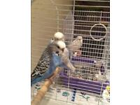 ***BARGAIN*** 3 BUDGIES 2 CAGES