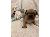 Beautiful french bulldog puppies, only 1 pup left