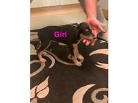 Saluki X Greyhound Puppies.