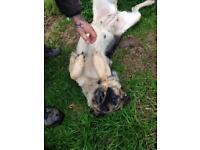 German shepherd bitch 3 years old