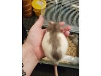 Adult and baby rats for rehoming