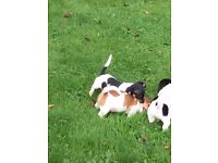 6 beautiful Jack Russell pups for sale