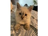 3 girls ragdoll blue point blue eyes looking for new home