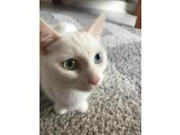 Turkish Van x Ragdoll Kittens For Loving Homes