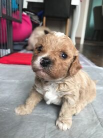 Cavapoochons puppies for sale