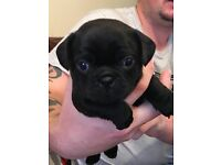 3/4 pug for sale (puggle)