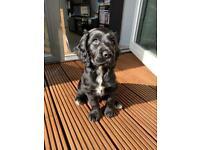 Cocker spaniel/ springer puppy