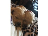 Cockapoo Puppies*** only 2 left