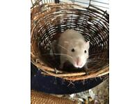 4 Male Rats plus Savic cage or LIBERTA EXPLORER LARGE DOUBLE RODENT CAGE