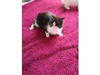 Pedigree Persian cats