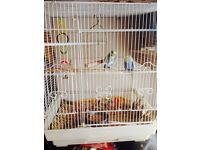 7 Budgies &cage