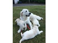 Show Quality IKC English Cream Golden Retriever Pups £2000