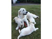 Show Quality IKC English Cream Golden Retriever Pups £2000