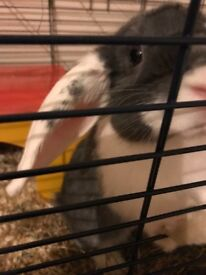 Grey & White Mini Lop Baby Rabbit With Cage And Accesories