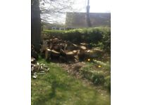 Oak logs free to collector.