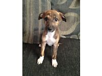 Lurcher Puppies Ready Now