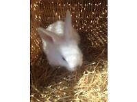 Baby rabbits for sale ready now