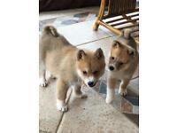 Pomsky/miniature husky pups