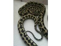 Female irian Jaya Carpet python