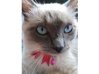 9 month old female ragdoll kitten for sale
