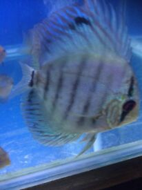 Blue discus fish for sale
