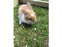 Lion cross lop eared bunnies for sale