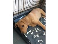 Male Pedigree Labrador Retriever For Sale