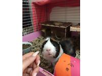 2 boy baby guinea pigs brothers with large cage