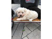 Rare Pomeranian X bichon Frise puppies