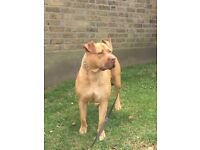 Beautiful XL Bully to be re-homed