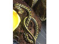 Thai beauty snake stunner