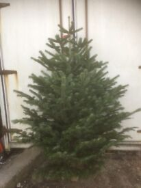 Xmas Tree Nordman Fir low needle drop
