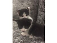 Little kittens sale