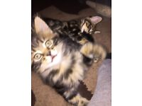 Adorable tabby male and female