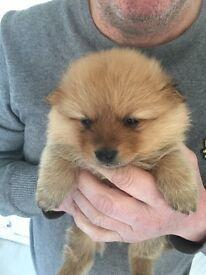 Pomeranian puppy's 2 boys