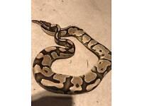 Male Vanilla Royal Ball Python