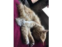 Lost kitten around woodside, ginger female, british long hair, very friendly :( if seen please call