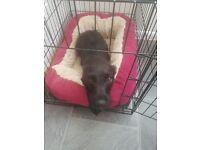 Patterdale x Lakeland Terrier for Rehoming. Beautiful and Loving. Very Energetic