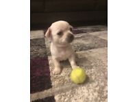 2 beautiful chihuha puppies looking for their forever homes 2boys 1girl