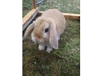 Beautiful mini lop
